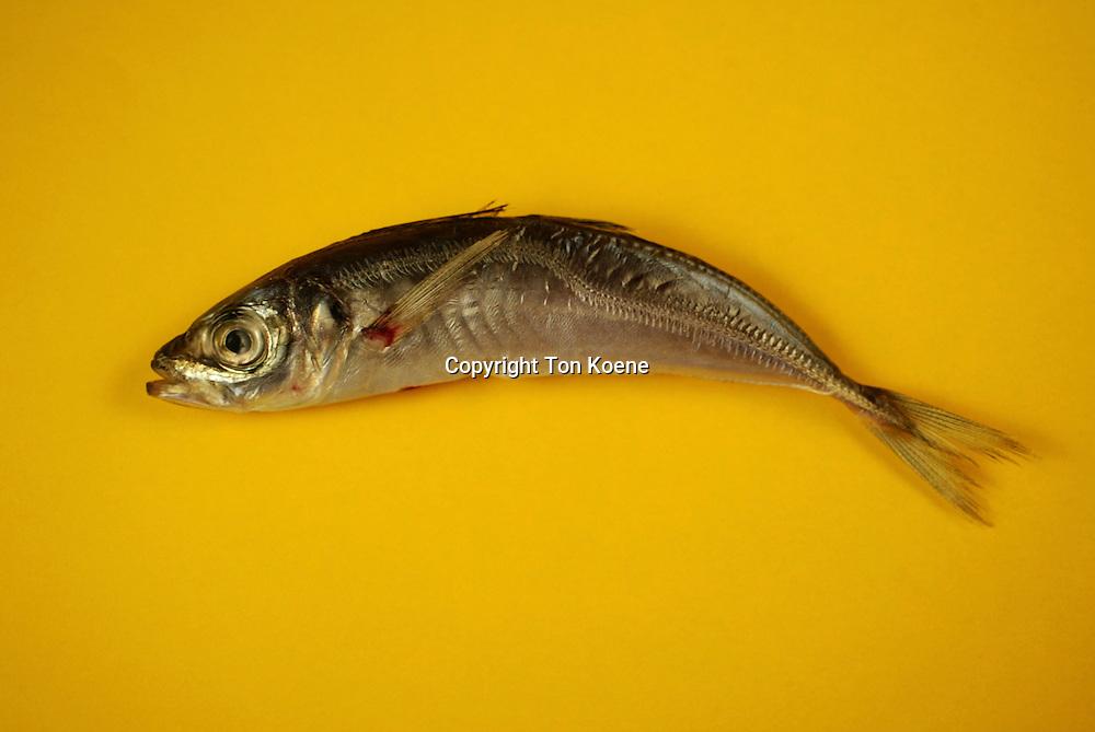 dead sardine