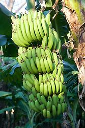 Banana Tree Bunch