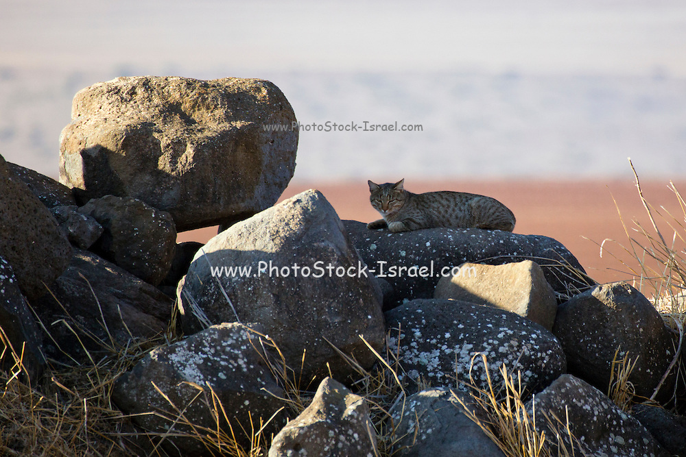 A wildcat (Felis silvestris) photographed in Israel. These cats are solitary and feed on mice, rats, birds and other small mammals.