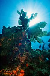 sea fan, Gorgonia sp., .Minnow Caves, Key Largo, Florida Keys .National Marine Sanctuary, Florida (Atlantic)