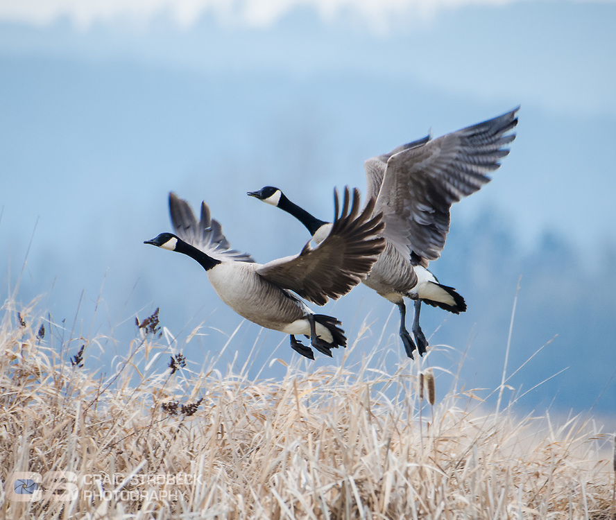 Canada Geese pair lift off from Fern Ridge wildlife area.