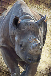 Both black and white rhinoceroses are actually gray. They are different not in color but in lip shape. The black rhino has a pointed upper lip, while its white relative has a squared lip. The difference in lip shape is related to the animals' diets. Black rhinos are browsers that get most of their sustenance from eating trees and bushes. They use their lips to pluck leaves and fruit from the branches. White rhinos graze on grasses, walking with their enormous heads and squared lips lowered to the ground.<br />