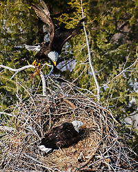 Bald eagle bring home the groceries somewhere in the Greater Yellowstone
