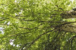 THEMENBILD - die grünen Blätter und Äste eines Laubbaumes, aufgenommen am 21. Mai 2019, Lienz, Österreich // the green leaves and branches of a deciduous tree on 2019/05/21, Lienz, Austria. EXPA Pictures © 2019, PhotoCredit: EXPA/ Stefanie Oberhauser