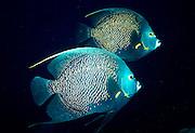 UNDERWATER MARINE LIFE CARIBBEAN, Fish; French Angelfish; Pomacanthus paru