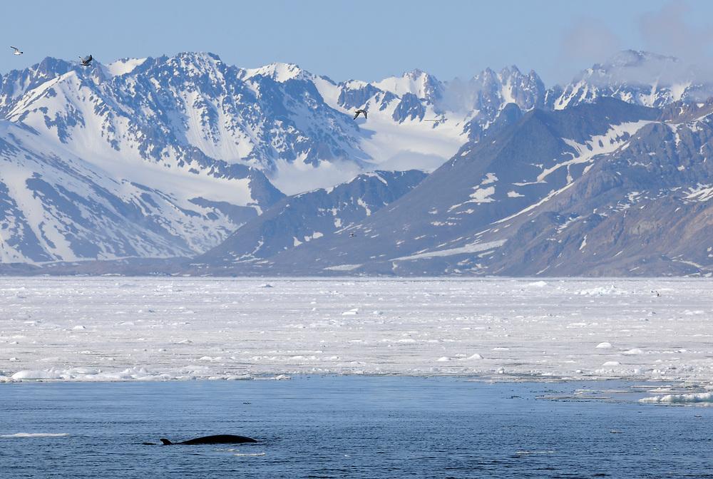 Common minke whale or northern minke whale, Balaenoptera acutorostrata, Svalbard, Norway