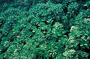 Palm Trees & Jungle, Kauai, Hawaii Islands, showing a number of invasive palm trees