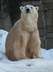 04.01.2011, Wuppertal, GER, Outdoor, Zoo  . im Bild der Eisbaer Lars aus dem Wuppertaler Zoo praesentiert sich in seiner ganzen Groeße und Schoenheit den Besuchern...Foto © nph Freund       ****** out ouf GER ******