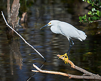 Snowy Egret perched on a branch in Big Cypress Swamp. Image taken with a Nikon D3x camera and 70-200 mm f2.8 lens (ISO 100, 200 mm, f/2.8, 1/2500 sec).