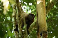 Poeppig's Woolly Monkey  (Lagothrix poeppigii) at the Tiputini Biodiversity Station, Orellana Province, Ecuador