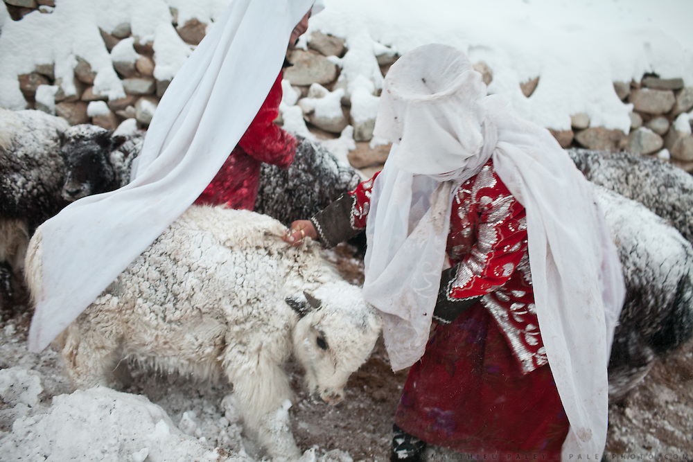 Two Kyrgyz women bringing a baby yak to its mother..In and around Ech Keli, Er Ali Boi's camp, one of the richest Kyrgyz in the Little Pamir...Trekking with yak caravan through the Little Pamir where the Afghan Kyrgyz community live all year, on the borders of China, Tajikistan and Pakistan.