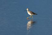 Shorebird 10-31-14