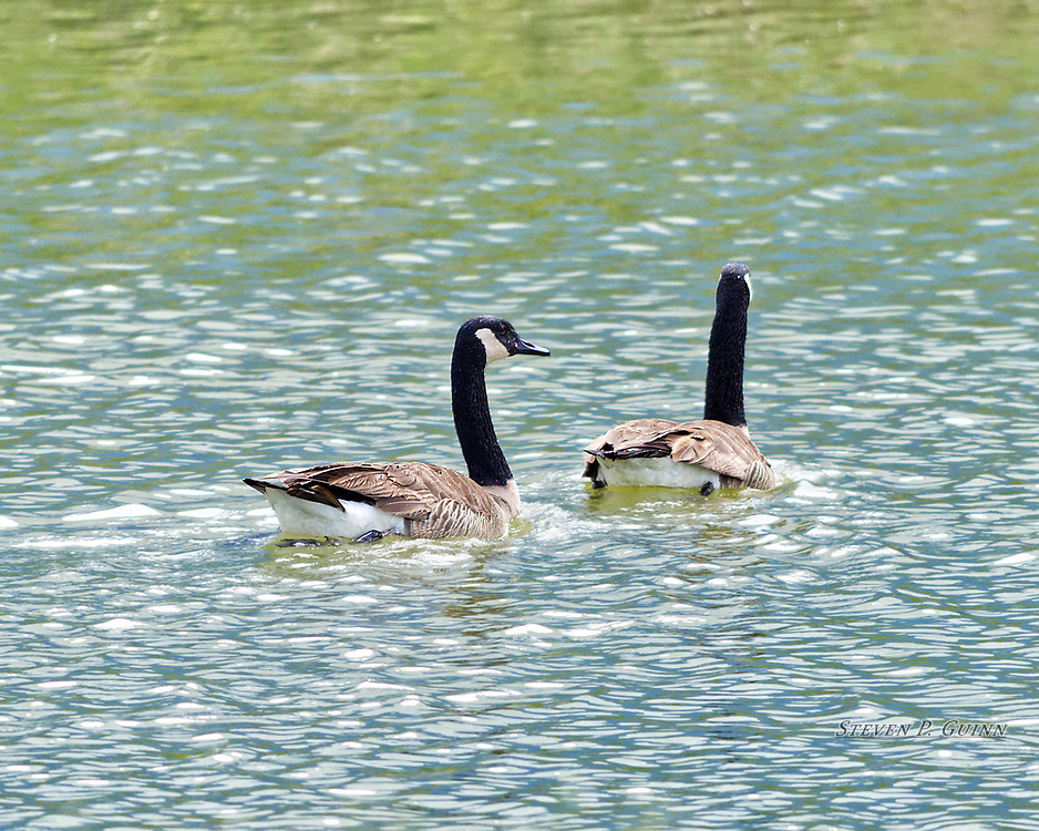 """I capture this image, along with """"Just Looking Around"""", of Canada Geese whil I was in Rensselaer, Indiana on May 25th, 2016. I came across these Canada Geese swimming in cooling pond near a local industrial building. These may have been a mating pair as they swam together the entire time I watched them. I wanted to capture the intricate patterns in their feathers, as well as the waves in the pond, and the way the sky is reflecting of the waves. I also wanted to capture the way the sunlight is glistening on the waves and the transition of the reflection of the sky to the vegetation in the background. <br /> <br /> Printed on Hahnemühle Torchon paper. Limited to 300 productions per size.<br /> <br /> Framed prints are available in 20"""" x 16"""" and 30"""" x 24"""" sizes."""