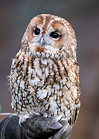A Tawny Owl at the ZSL London Zoo Annual Stocktake in London, England. Thursday 2nd January 2020