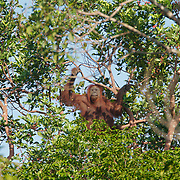 Orangutan (Pongo pygmaeus) feeding in the trees in the area near the river that is a buffer zone from the palm plantation, Borneo.