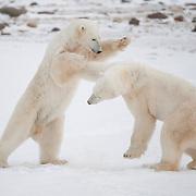 Two large male polar bears (Ursus maritimus) play fighting near Hudson Bay.