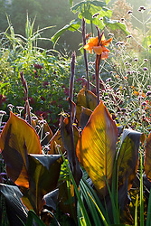 The backlit leaves of Canna 'Wyoming'
