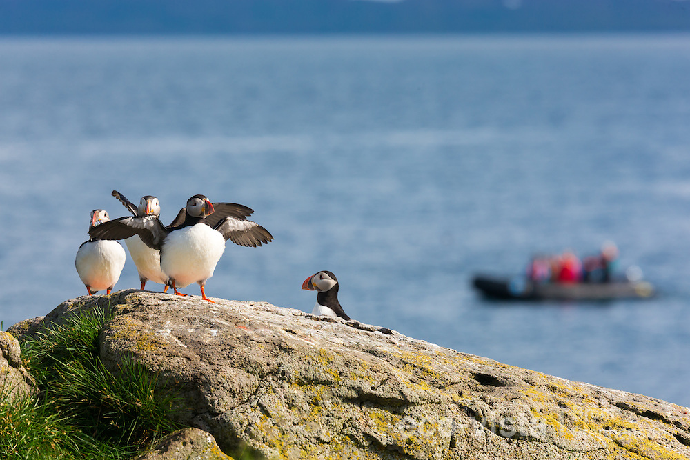 A group of Atlantic puffins (Fratercula arctica) rests on the top of a rock overlooking the sea, with several flapping their wings and a zodiac full of tourists in the distance. Vigur Island, Isafjardardjup, Iceland. July.