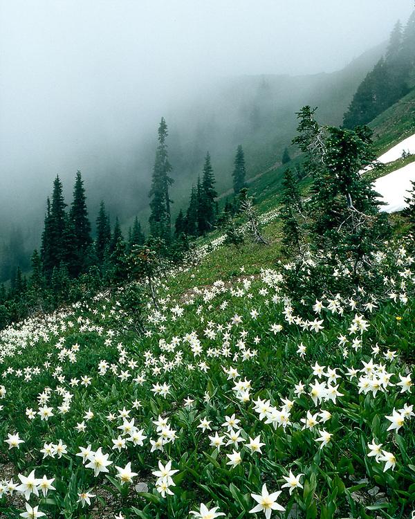 Avalance lilies, July, Hurricane Ridge, Olympic National Park, Washington, USA