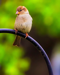 A young Female House Sparrow sits atop a metal pole