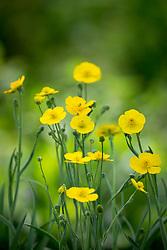 Ranunculus gramineus 'Pardal'. Buttercup