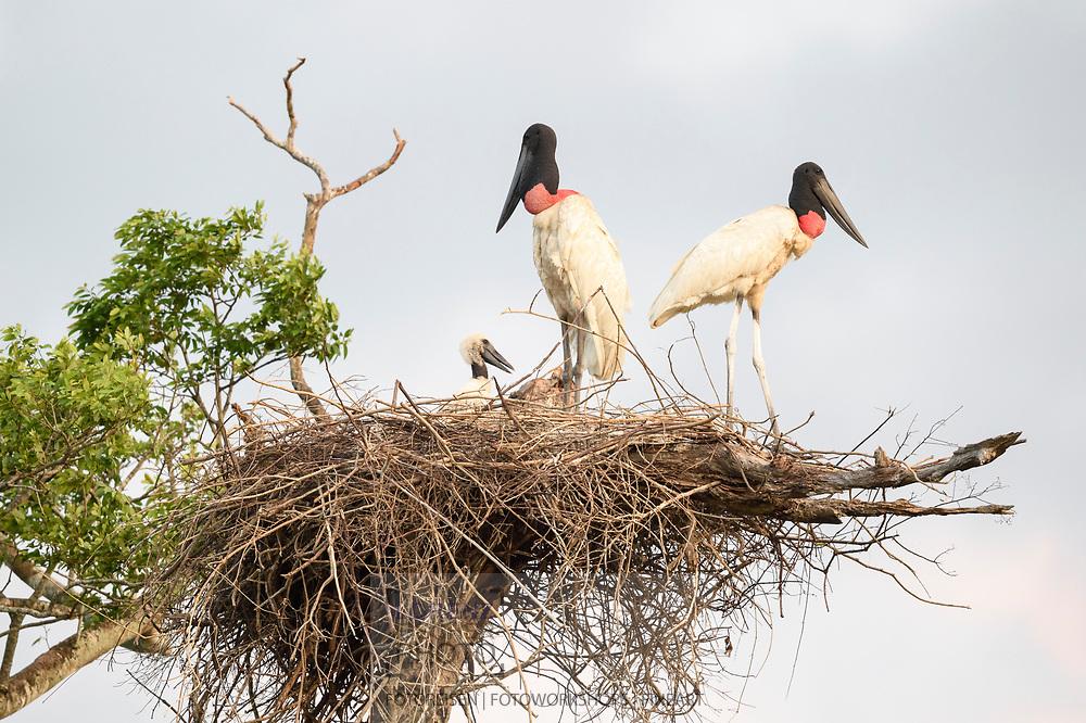Impressionen im Norden des Pantanals, Transpantaneira, Brasilien<br /> <br /> Scenes in the northern Pantanal, Tranpantaneira, Brazil