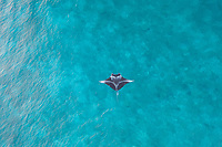 Aerial view of a<br /> stingray in the turquoise waters of Laquedivas Sea, Maldives