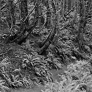 Trail Of Ferns And Mossy Trees - Oregon Coast - Infrared Black & White