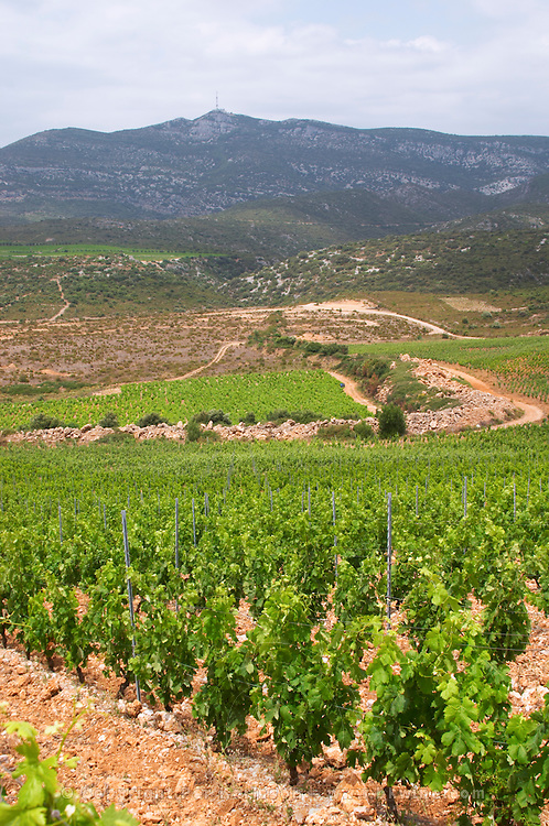 Domaine d'Aupilhac. Montpeyroux. Languedoc. Les Cocalieres recently planted magnificent vineyard plot on the hill slope. France. Europe. Vineyard. Mountains in the background. Mont Saint Baudille.