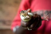 A baby chick in a farmers hand at the Lutizi training centre run by Kulika in Uganda.