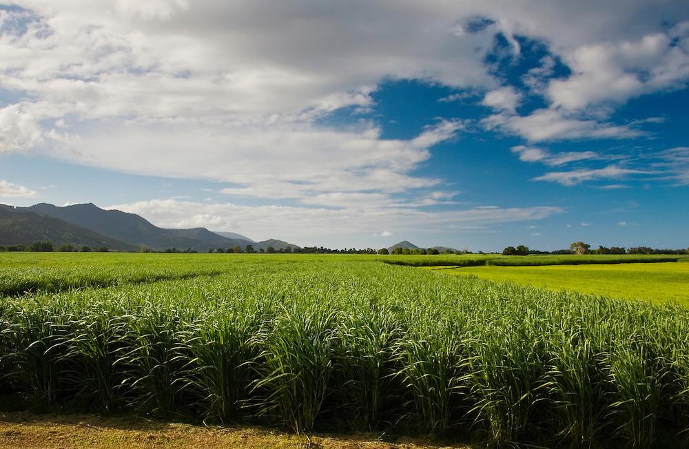Sugar cane field, Freshwater Connection, Australia