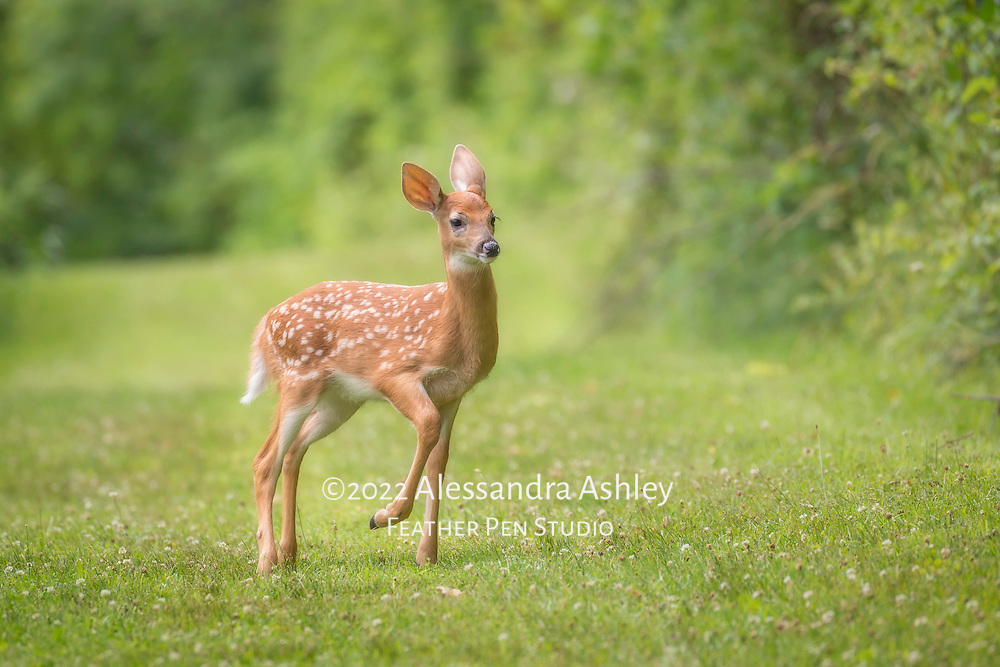 White-tailed deer fawn, Odocoileus virginianus, pauses while prancing across woodland trail. Photographed on prairie trail adjacent to Brown Family Environmental Center, Gambier, Ohio. Image won People's Choice 1st place and Juried 3rd place in Knox County 2017 nature photography competition sponsored by Kenyon College's BFEC. Semifinalist, NANPA Showcase 2021.