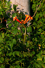 Trumpet Vine Royalty Free Stock Images