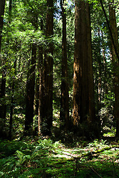 California: Muir Woods National Monument redwood tree environment, near San Francisco.  Photo copyright Lee Foster.  Photo # 33-casanf80938.   .