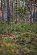 Small spruce (Picea abies) growing in bog woodland in spring, Kemeri National Park (Ķemeru Nacionālais parks), Latvia Ⓒ Davis Ulands   davisulands.com