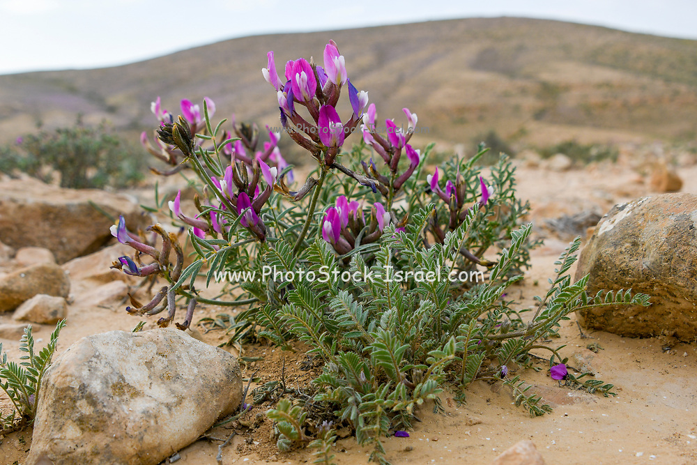 Ononis mollis Savi (restharrows) Photographed at the Lotz Cisterns in The Negev Desert Israel in March