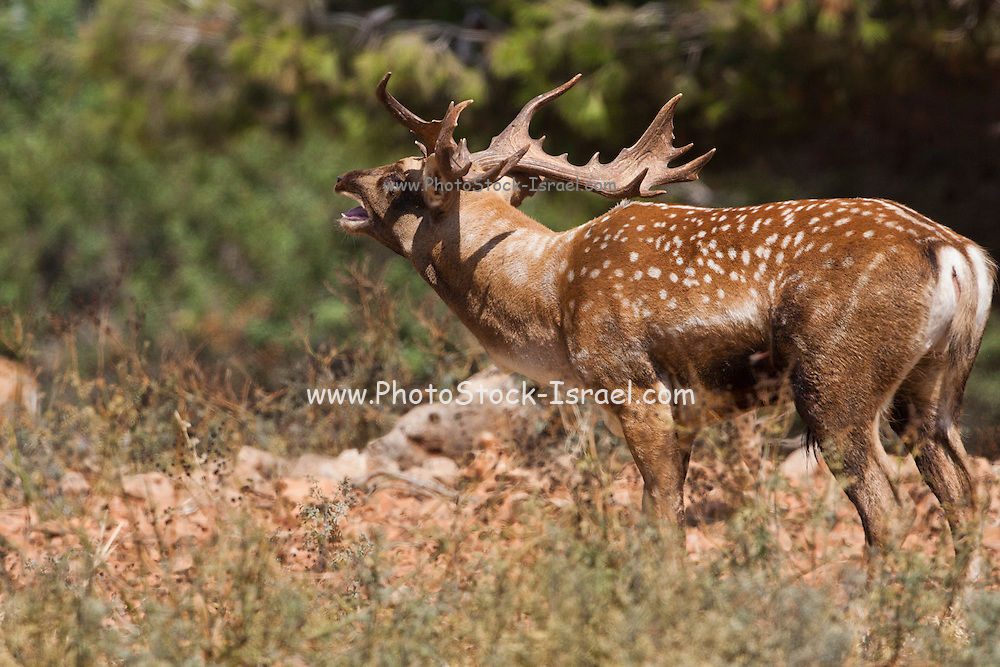 Male Mesopotamian Fallow deer (Dama mesopotamica) Photographed in Israel Carmel forest in August