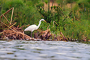 Great Egret (Ardea alba) on the shore of the White Nile, Uganda.