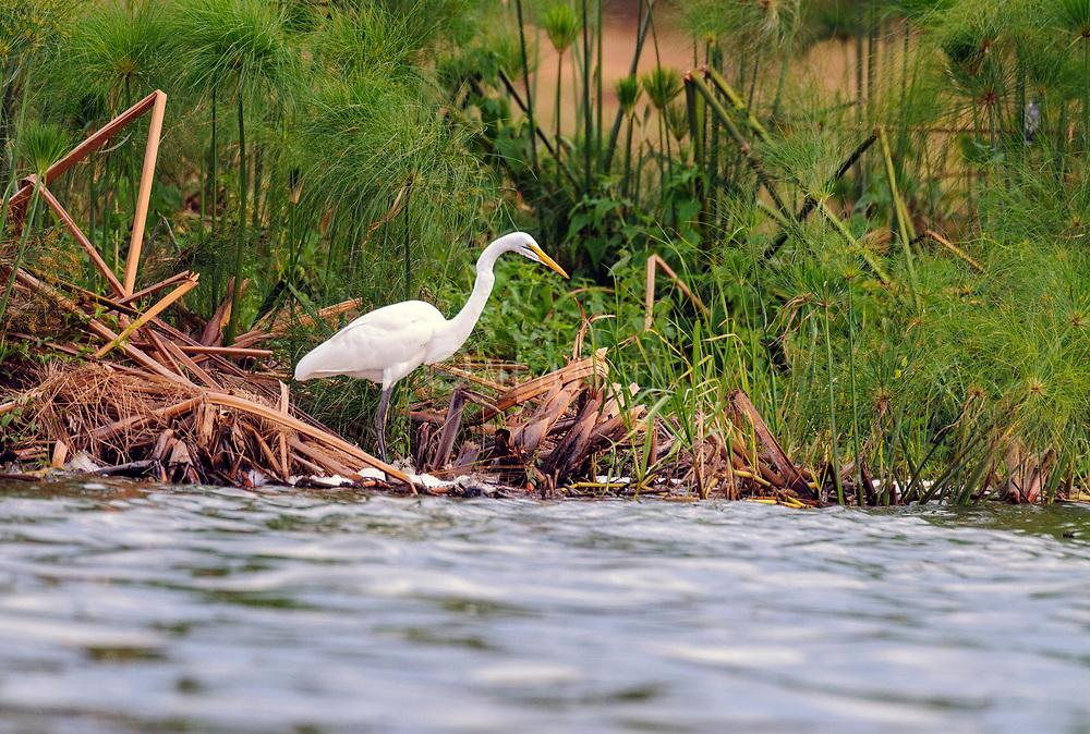 Great Egret (Ardea alba) on the shore of the White Nile, Uganda.