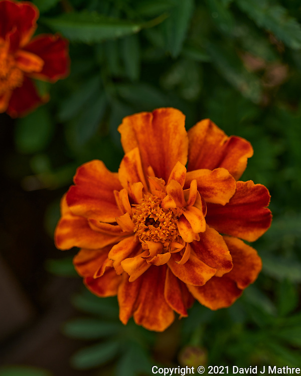Marigold. Image taken with a Leica SL2 camera and 24-90 mm lens.