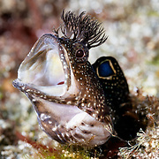 This is a male Neoclinus bryope chaenopsid blenny with his mouth wide open. This species is called koke-ginpo in Japanese.