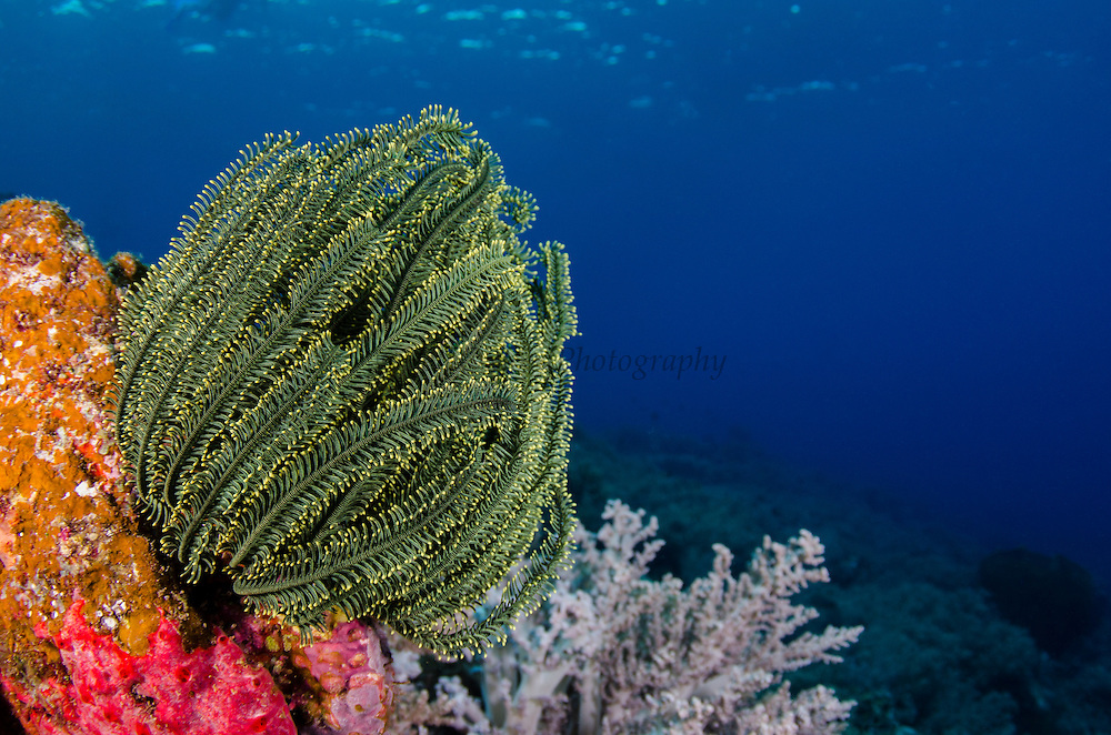 Bennet's Feather Star (Oxycomanthus bennetti)<br /> Cenderawasih Bay<br /> West Papua<br /> Indonesia