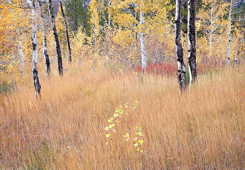 autumn aspen trees in field, Swan Valley, Idaho