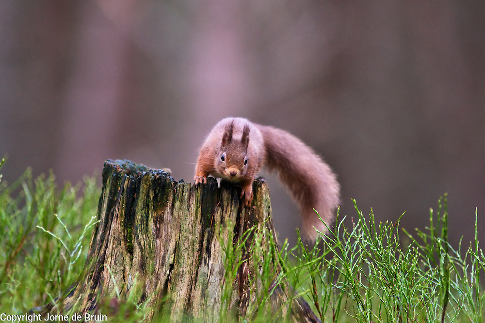 A Red Squirrel sits on a tree stump in the forest of the Cairngorms National Park in Scotland