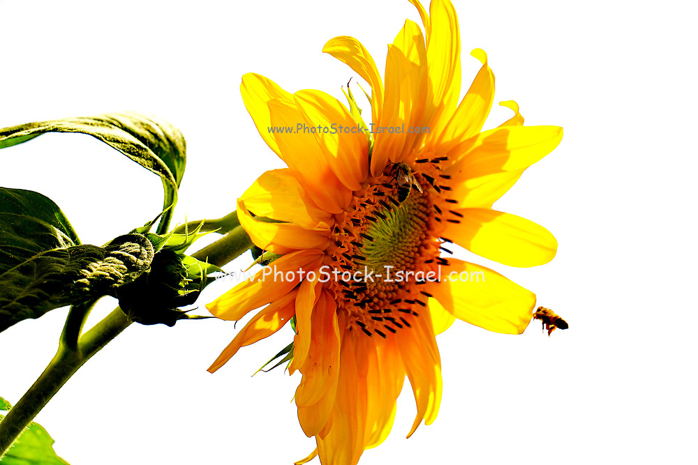 Wilted Yellow Daisy on white background