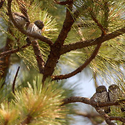 Northern Pygmy Owl (Glaucidium gnoma) Fledglings perched on branch. One of the smallest owls in North America. An aggressive predator, this owl will sometimes catch birds larger than itself, its favorite target is songbirds. Montana. Summer.