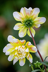 Dahlia 'Peaches and Cream'