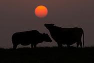 Cattle in the sunset, Poyang Ho Lake, Jiangxi province, China