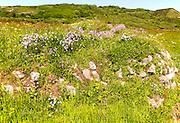 Armeria maritima, sea thrift, in flower, Lowland Point, Lizard Peninsula, Cornwall, England, UK