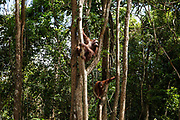 Adult orang-utans climb in trees on Salat Island pre-release site, run by the Borneo Orangutan Survival Foundation BOSF, in Central Kalimantan, Borneo, Indonesia on 27th May 2017. In this last stage of rehabilitation, the animals are observed as they learn how to forage for their own food and live independently. The island was established in partnership between BOSF and PT SSMS, a local palm oil company, who are both members of the Roundtable on Sustainable Palm Oil.
